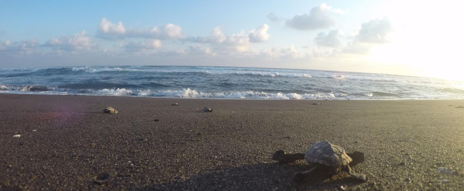 A newly hatched turtle crawls across the sand to reach the ocean in Mexico.